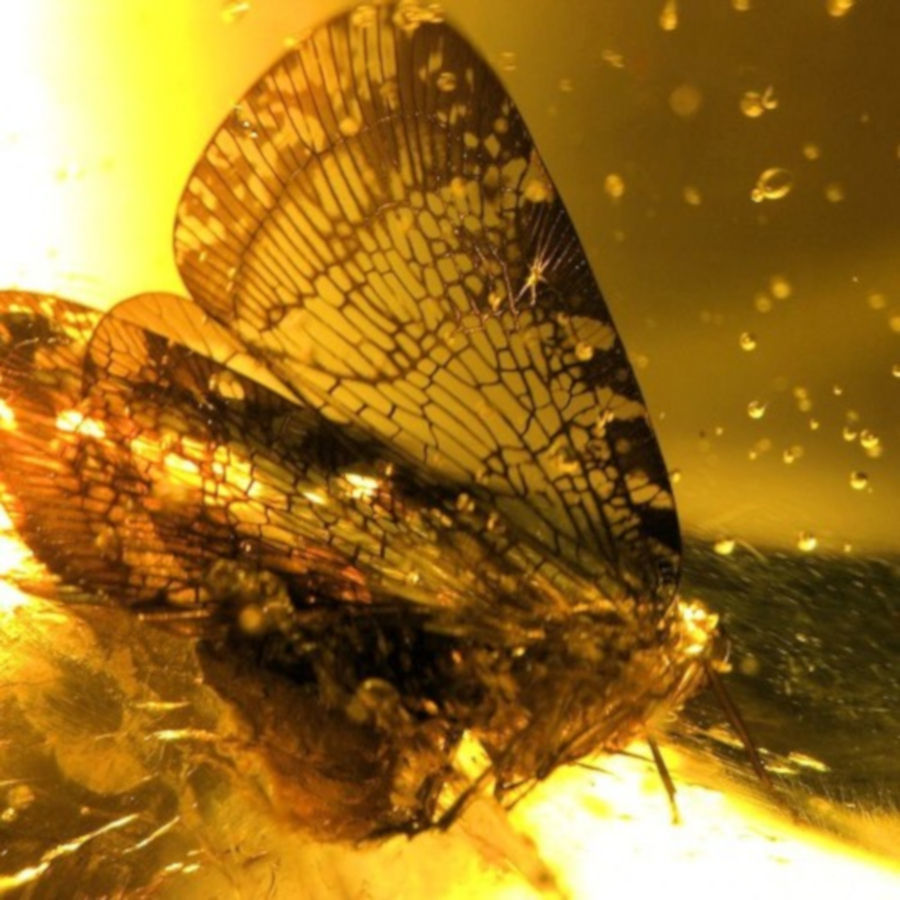 A moth encased in a chunk of amber